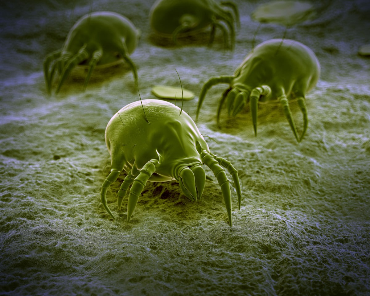 A microscope view of dust mites which are controlled with our allergy relief treatment Melbourne